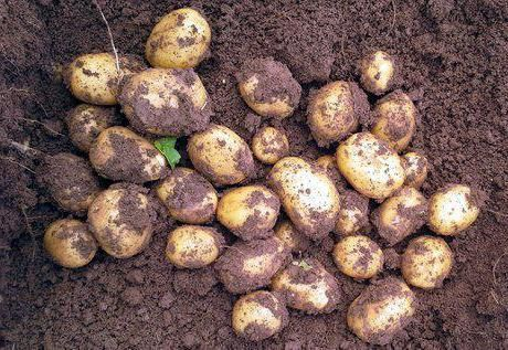 Potato Colombo comentarii