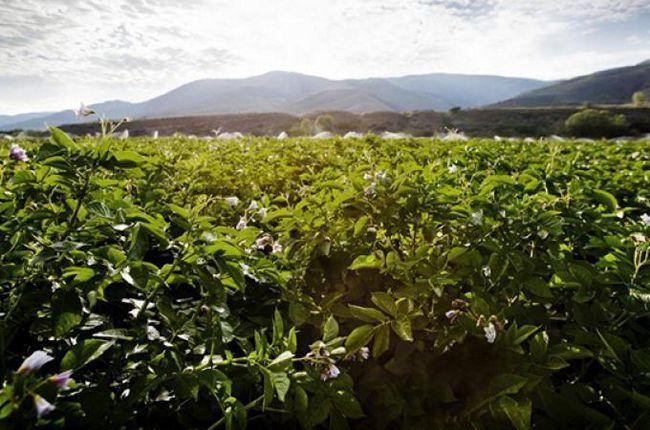 secvența de lucru în cultivarea cartofilor