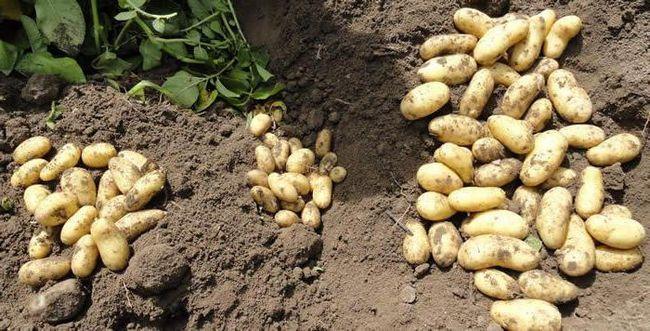 cartofi doamna randament randament