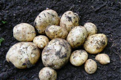 descrierea cartofilor meteorici