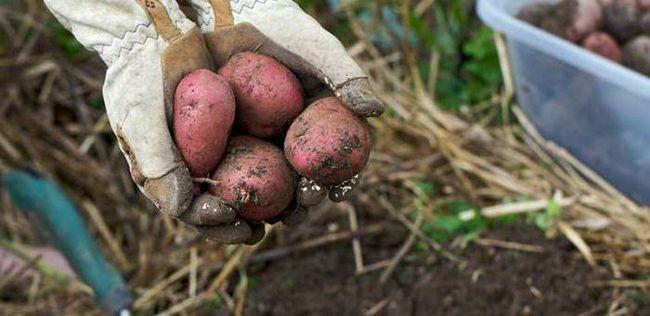 descriere ryabinushka cartofi