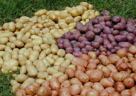 cartofi Rocco recenzii