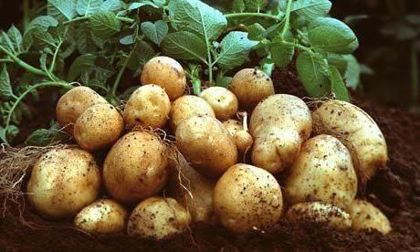 descrierea soiului santa de cartofi