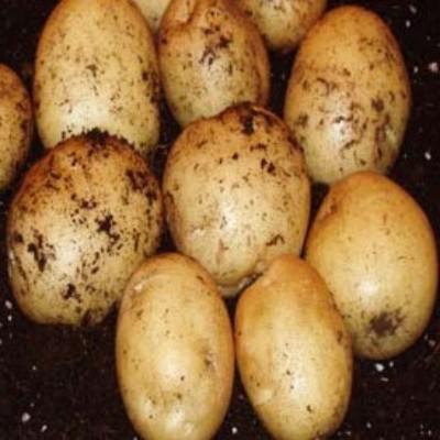 Varietate de cartofi inara