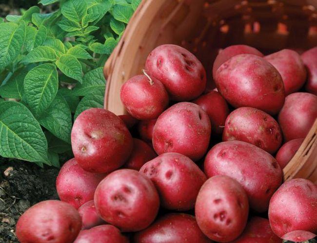 Cartofi romantici