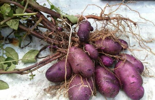 cartofi albastru recenzii