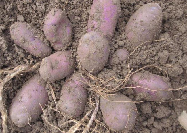 cartofi descriere albastru