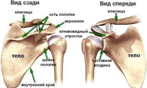anatomia claviculei