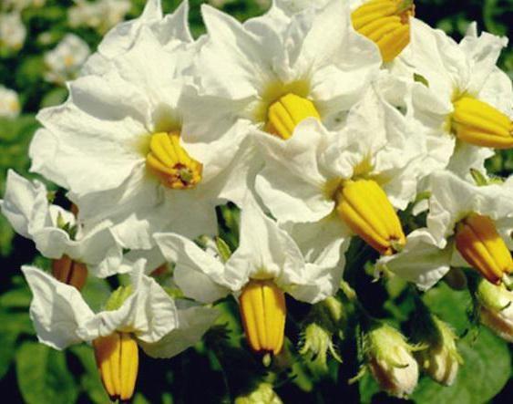 o floare de cartofi