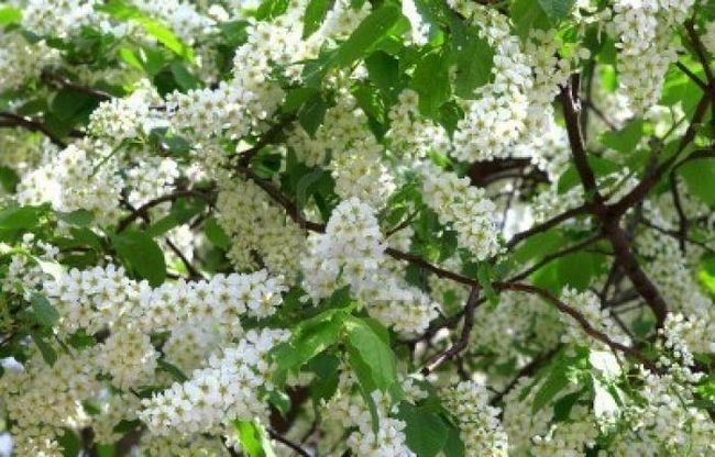 Când floarea cireșelor infloreste