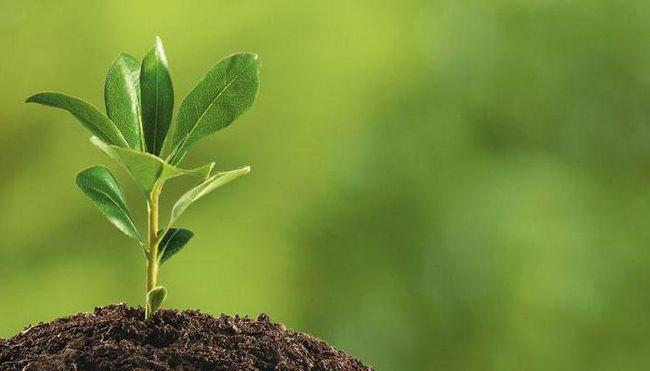 rădăcinile au crescut într-o regulă