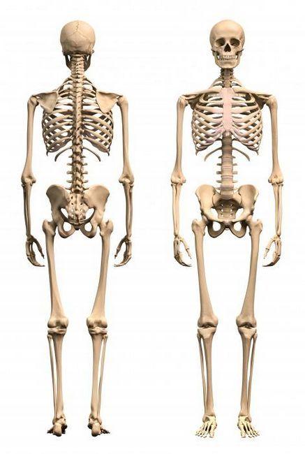scheletul unui adult constă