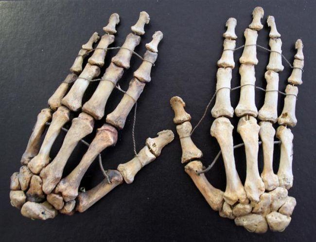 Oasele scheletului mâinii