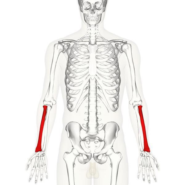 membrele superioare ale anatomiei umane