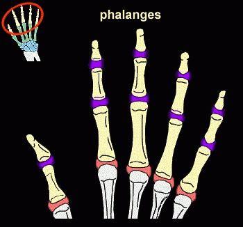 oasele scheletului membrelor superioare