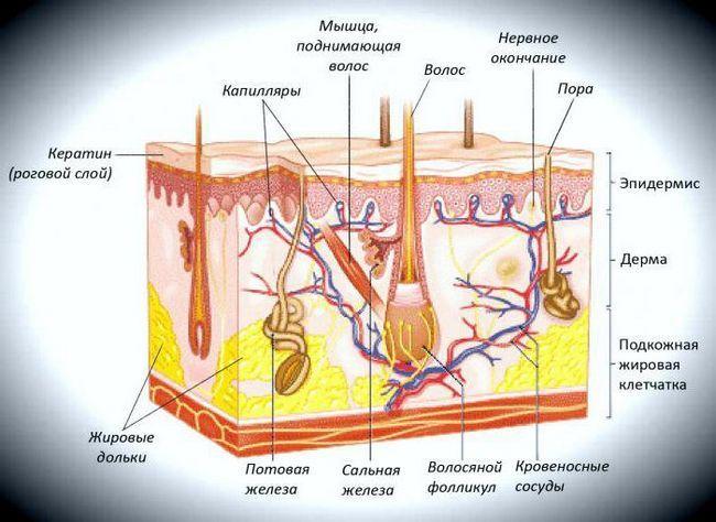 structura și funcția pielii umane