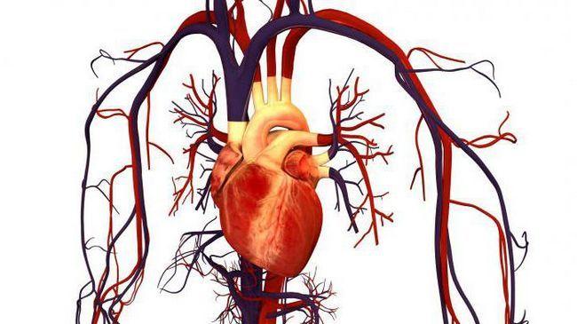 sistemul circulator al mamiferelor