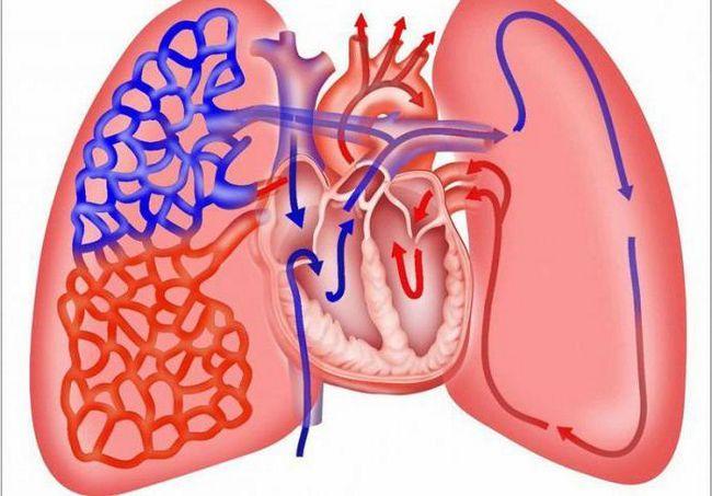 structura sistemului circulator al mamiferelor