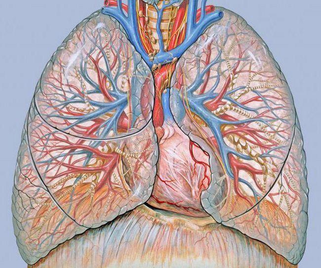 organele care formează sistemul circulator la mamifere