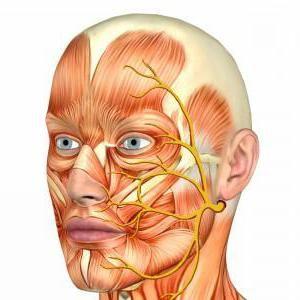 modelul fibrelor nervoase faciale