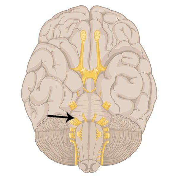 facial nervoase ramurile lor anatomie topografie
