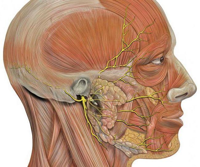 Structura nervului facial și probleme de funcționare