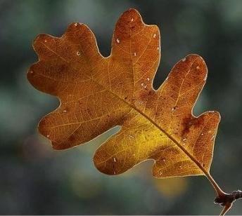 Frunze de stejar în natură, design, heraldică și literatură