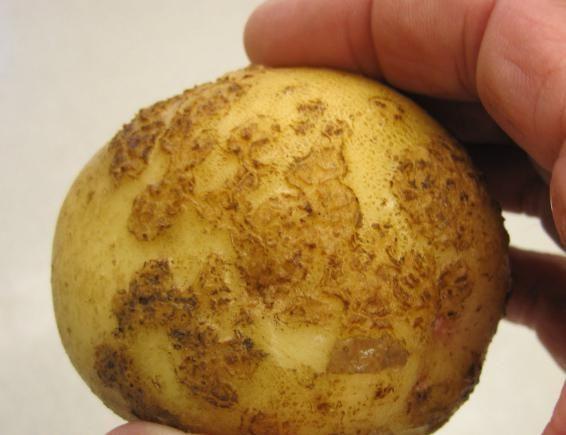 Imagini de cartofi