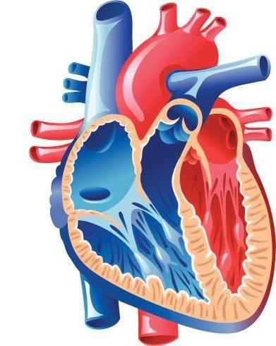 schema de flux al sângelui prin cercurile mici și mari ale circulației
