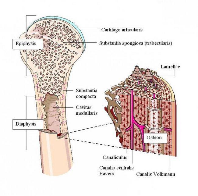 substanța intercelulară a țesutului osos