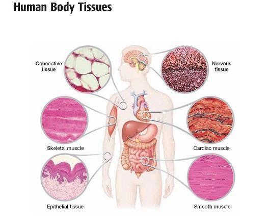 rolul substanței intercelulare