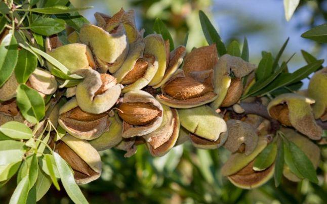 Almond: cât de corect și cât de mult puteți mânca, proprietăți utile și conținut de calorii