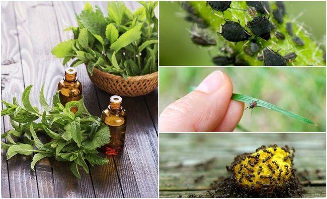 ulei esențial de la insecte