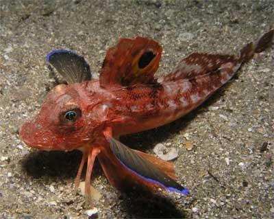 Un cocoș de mare este un pește capabil