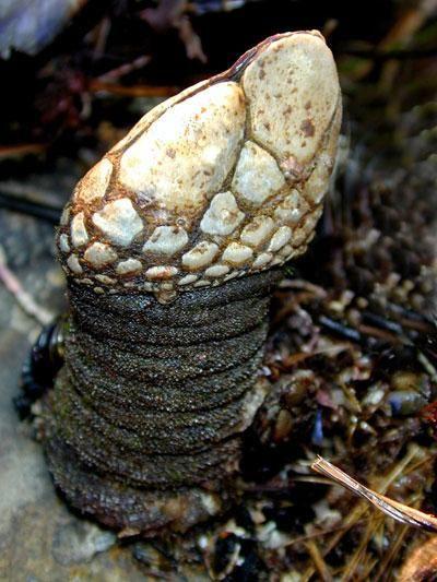 Marea Acorn. Ciclul de viață, reproducerea