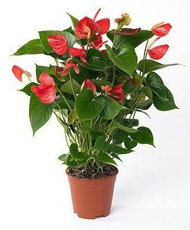 Floarea masculină - anthurium