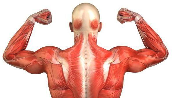 Schema umană musculară
