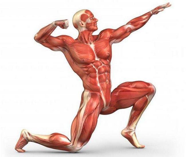 grupuri de mușchi umane