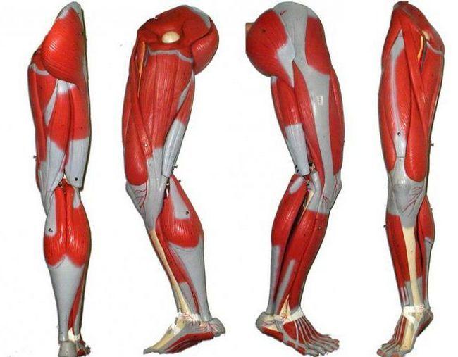mușchii picioarelor unei persoane