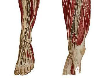 structura musculaturii piciorului unei persoane