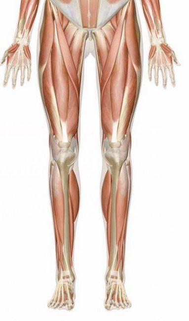 mușchii piciorului uman