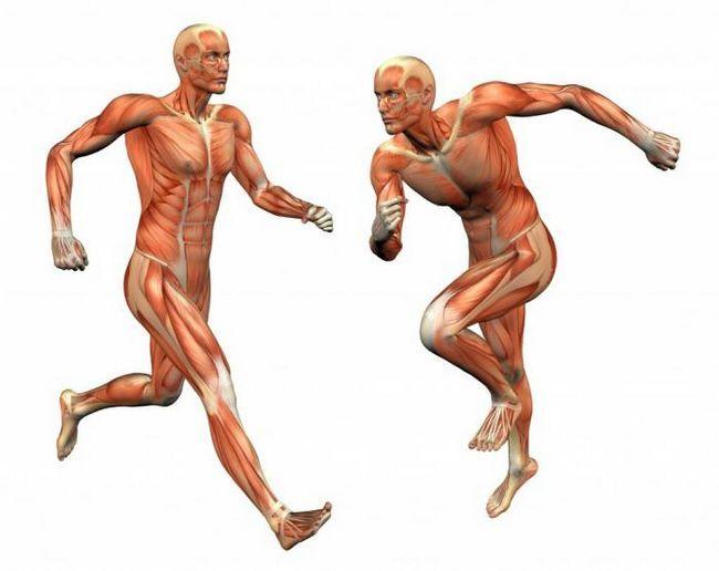 structura și funcția musculară