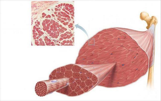 caracteristicile țesutului muscular