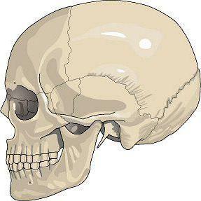 неподвижное соединение костей имеет