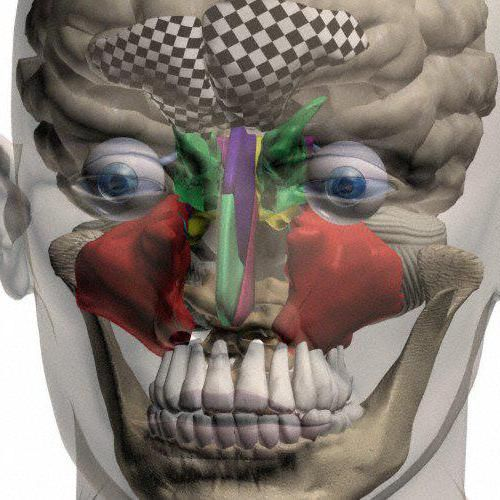 sinusurile paranasale