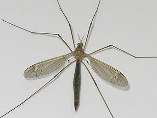 Este un pitic mare de țânțari periculos?