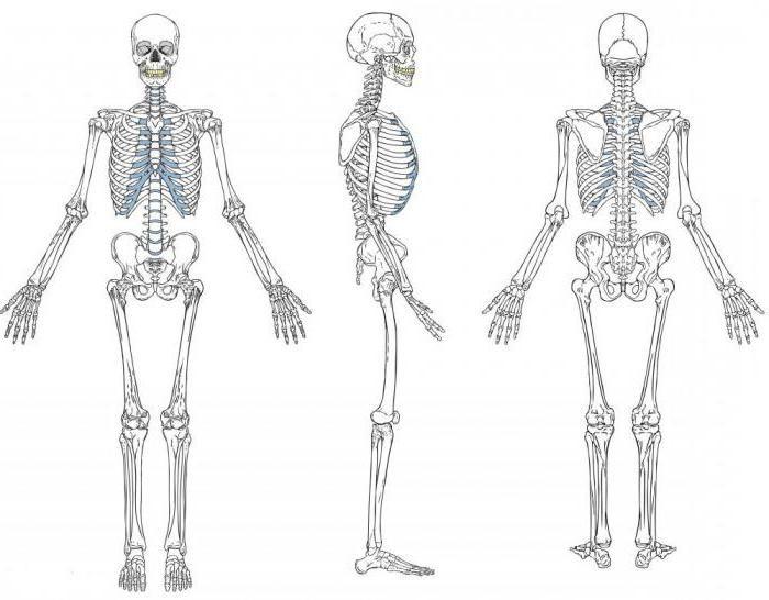 sistem musculoscheletal