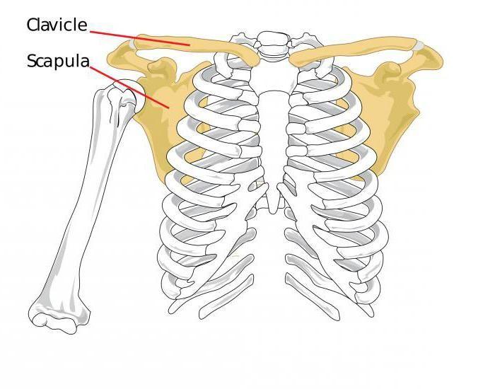 dezvoltarea sistemului musculo-scheletic