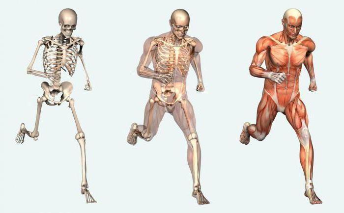 care sunt funcțiile sistemului musculo-scheletic