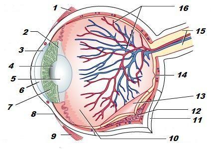 structura diagramei ochiului uman